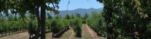 Vineyard, Chile