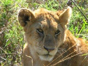 Serengeti Lion, Tanzania